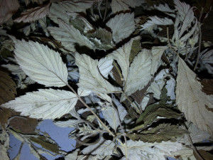 TeAvTørkedeBringebærbladerSilverTipFerdigTørket
