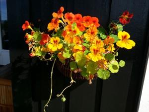 BlomkarseIPotte
