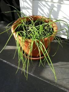SmåLøkplanterIPotte