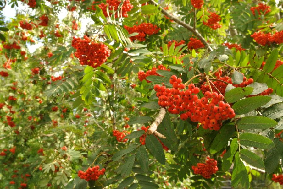 Rognebær- og eplegelé, Del 1 (august) og Del 2 (oktober)